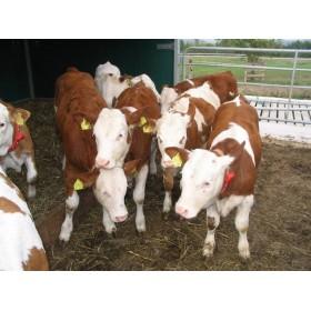 肉牛犊价格,改良肉牛犊价格,小牛犊价格