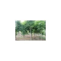 【七叶树价格】、七叶树价格专题-商贸供求网