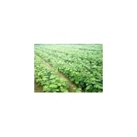 葡萄苗,阳光玫瑰葡萄苗、新品种葡萄苗 - 运城精品苗木基地