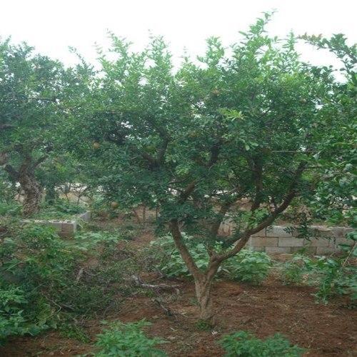 红梅、10-15公分红梅产地供应商、山西运城