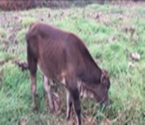 农村小伙花4800块钱买了一头小牛,回到家后悔了,大家看看