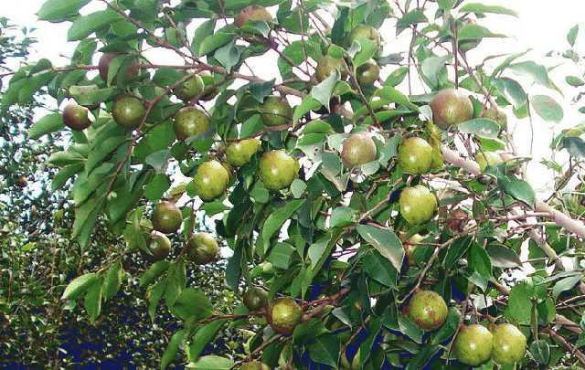 供应玉林牌油茶苗和软枝油茶苗大果红花油茶种苗基地