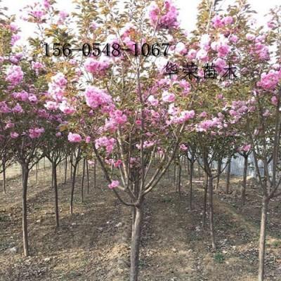 5公分樱花价格、6公分樱花价格、6公分樱花报价