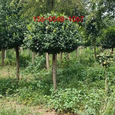 1米高杆卫矛球1.2米、1.5米、2米高杆卫矛球