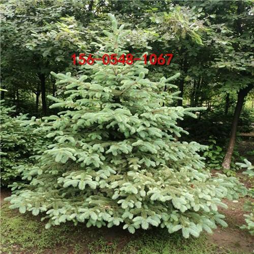 青芊云杉1米、1.5米、2.5米云杉3米云杉