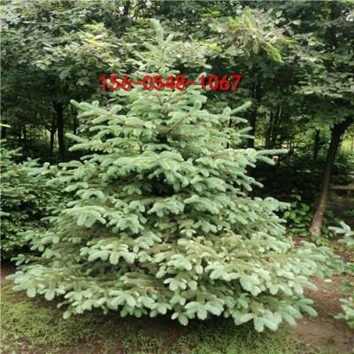 云杉量大优惠1米2.5米云杉3米3.5米云杉