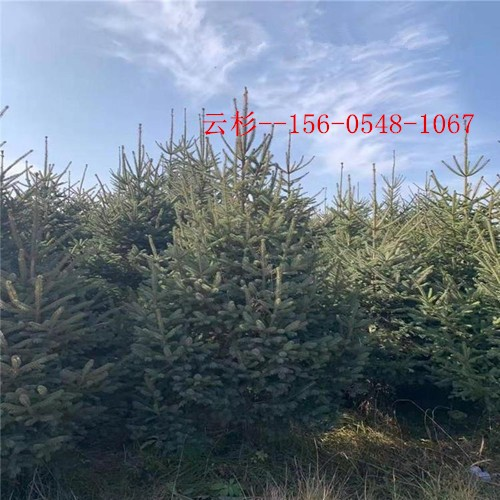 云杉树种植基地1米2米云杉3米3.5米云杉
