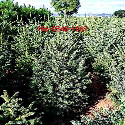 青芊云杉直销云杉1米、2米、3米、4米云杉-直供