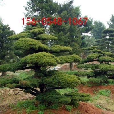 常年供应五针松1.5米、2米五针松2.5米五针松报价