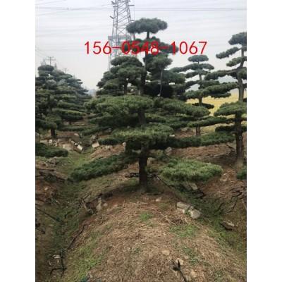 供应五针松成活率高2米、2.5米、3米五针松、2米五针松
