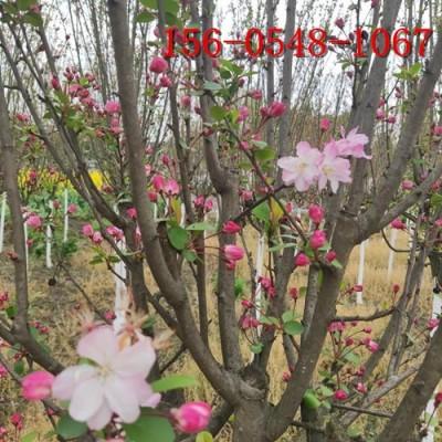 常年供应垂丝海棠 5公分、6公分、7公分垂丝海棠
