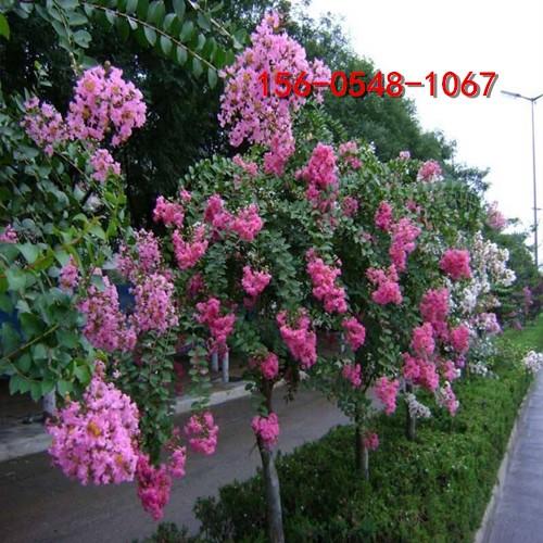 批发紫薇树 百日红量大从优 小叶红花紫薇小苗