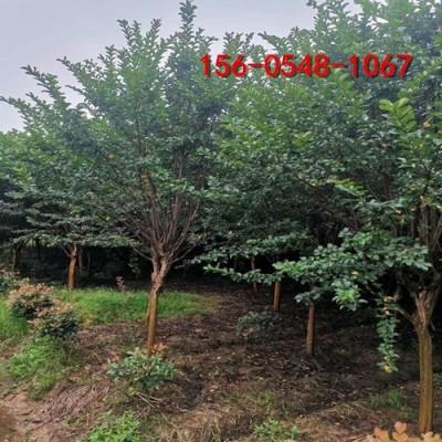 紫薇绿化苗木基地10公分、12公分百日红、紫薇树