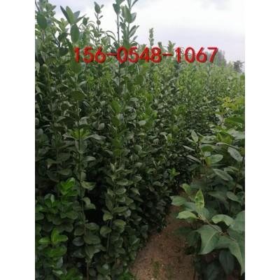 供应1米2米3米北海道黄杨3米-4米丛生北海道黄杨